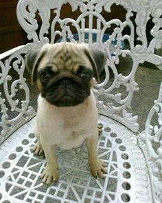 """This is my favorite chair. I call him Marvin.""  www.jointhepugs.com/  #pug #pugpower #pugsnotdrugs #puglife #puglove #cuteness #dogs"