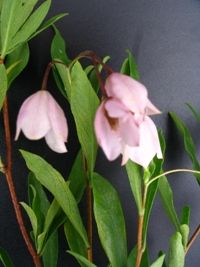 Sollya heterophylla pink - Dainty climber with lime green leaves and beautiful, pale pink bell flowers during Spring and Summer followed by a blue, cylindrical fruit. Frost resistant. Can be INVASIVE