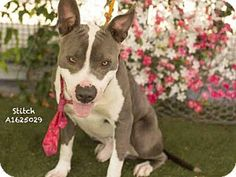 06/12/16-Los Angeles, CA - American Staffordshire Terrier Mix. Meet STITCH, a dog for adoption. http://www.adoptapet.com/pet/15493043-los-angeles-california-american-staffordshire-terrier-mix