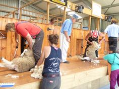 Shearers at the Warkworth A&P Lifestyle Show