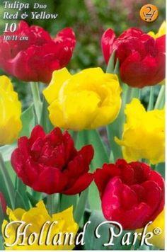 Tulipán Duo- Teltvirágú piros és sárga tulipán Holland Park, Yellow, Flowers, Plants, Red, Plant, Royal Icing Flowers, Flower, Florals