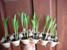 Egg Carton Plant Starters