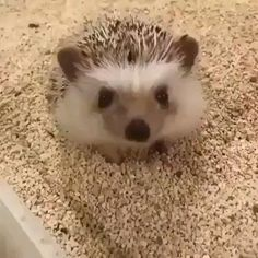 Cute Little Animals, Cute Funny Animals, Funny Cute, Funny Dogs, Hedgehog Pet, Cute Hedgehog, Cute Pigs, Cute Creatures, Funny Animal Videos