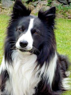 Handsome Border Collie....