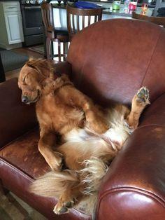 Golden Retrievers can sleep anywhere!