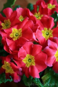 Primrose, perennial flower, currently budding, lovely show of color for partial shade to shade. Loves acidic soil and water.