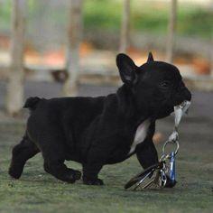"""""""Mommmmmm, I found your Keys again"""", French Bulldog Puppy."""