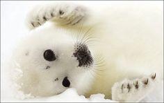 foca arpa