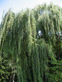 Habitus/ Gestalt / Äußere Form von Salix alba 'Tristis'; sonniger Standort