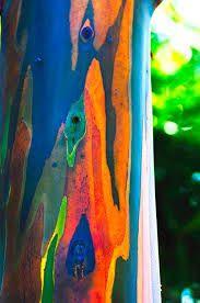 Risultati immagini per eucalipto arcobaleno