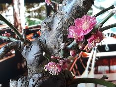Prunus Mume, Crown, Jewelry, Corona, Jewlery, Jewerly, Schmuck, Jewels, Jewelery