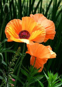 Orange oriental poppy poppies