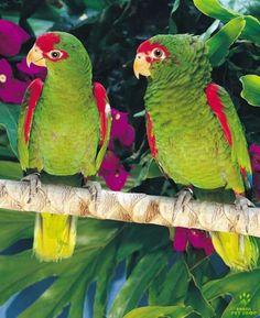 papagaio-charao-f-2-com