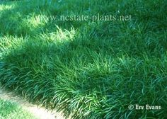 """Creeping Liriope - Zone 4-9 Evergreen groundcover -8-12"""" x 6x12"""" wide spreading and creeping."""