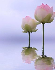 Lotus Lotus Flower Pictures, Lotus Flower Art, Lotus Bud, Amazing Flowers, Beautiful Flowers, Gras, Wabi Sabi, Flower Tattoos, Flower Power