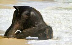 Baby elefant first time at the beach Baby Animals, Funny Animals, Cute Animals, Baby Elephants, Elephants Playing, Wild Animals, Beautiful Creatures, Animals Beautiful, Animal Pictures