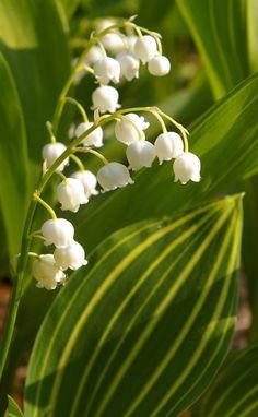 Лилия долины цветущая в мае