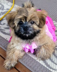 Meet my new Shorkie! I love her. Name is Cookie