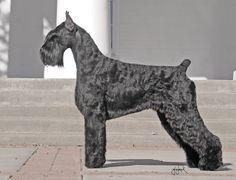 Standard Schnauzer, Giant Schnauzer, Schnauzer Puppy, Schnauzers, Schnauzer Grooming, Dog Grooming Tips, Akc Dog Breeds, Large Dog Breeds, Schnauzer Gigante