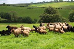 Warum Schafe unseren Schutz brauchen