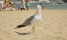 Retrato de uma gaivota Praia da Ribeira, Baiona, Espanha