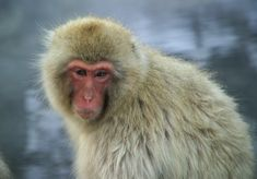 Japanese macaques pictures
