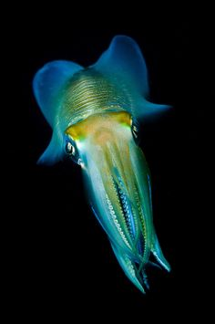 Portrait of a bigfin reef squid, Lembeh Strait, Sulawesi, Indonesia. Beautiful Sea Creatures, Deep Sea Creatures, Animals Beautiful, Underwater Creatures, Underwater Life, Squid Fish, Water Animals, Sea Dragon, Unusual Animals