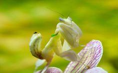 La mantide orchidea, una mimetizzatrice esperta La mantide orchidea ? un ingannevole insetto proveniente dalle foreste del Sud-Est Asiatico, dove conduce la sua breve vita all'insegna del mimetismo. Il suo nome scientifico ? Hymenopus coronatus, m #insetto #mantide #orchidea