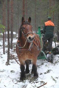 Ardenner working the Swedish forest                                                                                                                                                                                 Mehr