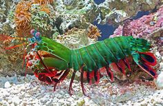 This animal make look all frill, but it sure can pack a fatal punch! Click to learn more about our peacock mantis shrimp!