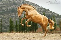tickled-fancy - PRE Sol PM, Yeguada Paco Marti, Spain Found on. Akhal Teke Horses, Andalusian Horse, Friesian, Most Beautiful Animals, Beautiful Horses, Beautiful Creatures, Majestic Animals, Horse Photos, Horse Pictures