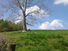 One of my favorite trees, of all-time. One of my favorite pics, of all-time. Warwick Farm--Mt. Vernon, OH.