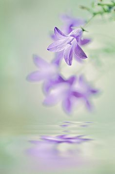 Campanula by Jacky Parker Floral Art on Flickr.