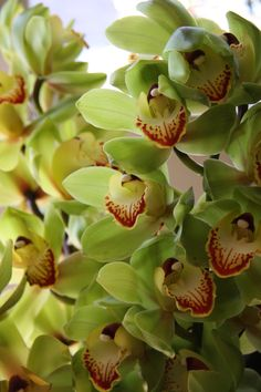 Green Cymbidium Orchids, My Very FAVORITE!!