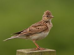 Sky Lark. August 12, 1998 American Camp, San Juan I. WA.,  Bird was smallish, pointed bill, yellowish, streaked face & breast w/ brown,  buffy belly & under parts.  Rather like a cross between a Savannah Sparrow  and an American Pipit.  Photo by IanFSeaton Common, Seaton Carew, Cleveland, UK, May 2009