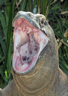 """Komodo dragons kill using a one-two punch of sharp teeth and a venomous bite, scientists have confirmed for the first time. The find dispels the common belief that toxic bacteria in the Komodos' mouths are responsible for ultimately killing the dragons' prey. ~ Carolyn Barry for National Geographic News May 18, 2009"""