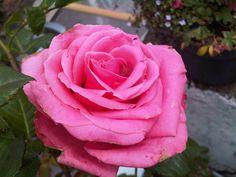 A pesar de la lluvia, la rosa florece.
