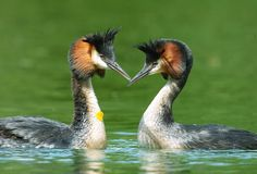 Two Australasian Crested Grebes in courting mode: doesn't get much more beautiful than this!