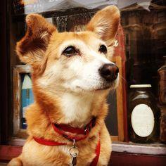 #breakfast #sentinel on the lookout for #sausageeggandcheese on an #everythingeverything #bagel #saturdaymorning #corgimix #cuteness #dogsofinstagram #dogsofig #dogsofdc #dog #dogs #eyeliner #emo #emodog #instadog #instapet #rescue #streetdog #barkhappy http://ameritrustshield.com/ipost/1549309396685470424/?code=BWAQLAMnLrY