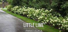 Peonies And Hydrangeas, Plant Species, Shrubs, Stepping Stones, Sidewalk, Country Roads, Landscape, Garden, Outdoor Decor