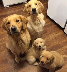 Check out our AnimalsUnited store and get yourself a high quiality custom design tee, bag or mug. Dm us for your own custom design. Available 24/7! Retriever Puppy, Dogs Golden Retriever, Golden Retrievers, Cute Animals With Funny Captions, Cute Baby Animals, Baby Puppies, Dogs And Puppies, Husky Pet, Cute Animal Drawings Kawaii