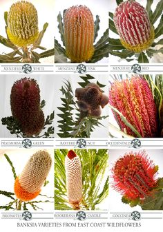 Nine of our most popular #banksia cut flower varieties that we grow and wholesale #native #Australian #flowers #wedding #bouquet