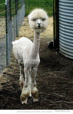 Shaved llama, hahaha dying! what the fuuuu*k?!