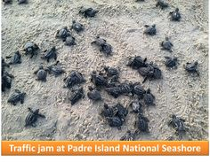 Traffic jam at Padre Island National Seashore. NPS photo.