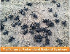 Traffic jam at Padre Island National Seashore. NPS photo.