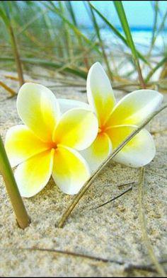 Plumeria sulla sabbia