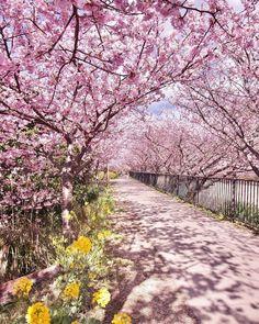 Япония: когда цветет сакура... Согласно японской легенде обычай Ханами - любование цветущей сакурой - продлевает жизнь до 100 лет. Сегодня ханами - один из самых любимых народных праздников Японии. Точное ремя когда она начинает цвести определить невозможно. Ориентируются на 20 марта - 10 апреля. Сезон цветения может продолжаться почти месяц постепенно перемещаясь с юга на север страны. Часто состоятельные японцы перемещаются вслед и участвуют в празднествах в нескольких регионах…