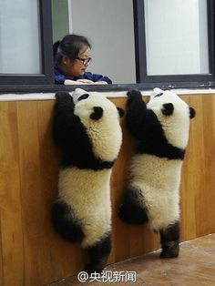 "Cutest real life picture of baby pandas I have seen, ""may we have a Cornetto and a strawberry mivvy please."""