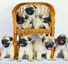 """""""We're ready for a new year of cuteness!"""" www.jointhepugs.com"""