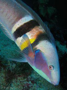 Sandager's Wrasse (Coris sandageri) ♀